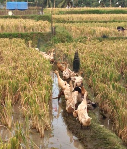Wild(?) gees in the rice field