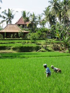 Rice fields north of Ubud