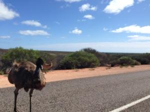 Angry cocky Emu