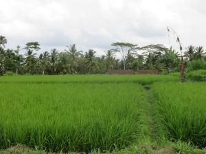 Green fields of rice